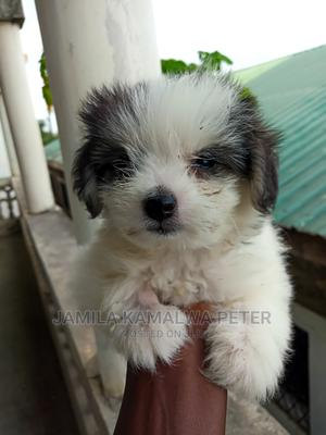 1-3 Month Female Purebred Maltese | Dogs & Puppies for sale in Mombasa, Nyali