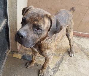 1+ Year Male Purebred Boerboel | Dogs & Puppies for sale in Nairobi, Thome