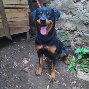 1+ Year Female Purebred Rottweiler | Dogs & Puppies for sale in Nairobi, Kangemi