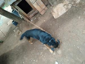 6-12 Month Male Purebred Rottweiler | Dogs & Puppies for sale in Kiambu, Kabete