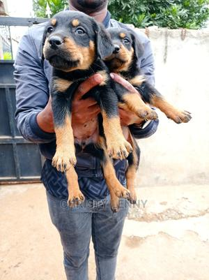 1-3 Month Male Purebred Rottweiler   Dogs & Puppies for sale in Kajiado, Kitengela
