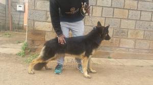 1+ Year Female Purebred German Shepherd   Dogs & Puppies for sale in Nairobi, Karen