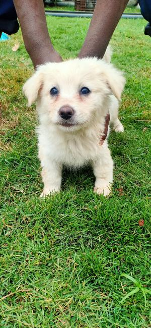 1-3 Month Female Purebred Japanese Spitz | Dogs & Puppies for sale in Nairobi, Kahawa