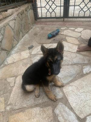 1-3 Month Female Purebred German Shepherd | Dogs & Puppies for sale in Nairobi, Donholm