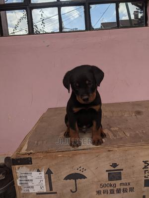1-3 Month Male Purebred Rottweiler   Dogs & Puppies for sale in Nairobi, Embakasi