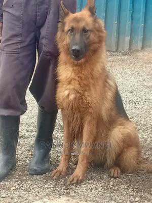 1+ Year Female Purebred German Shepherd | Dogs & Puppies for sale in Nairobi, Kawangware