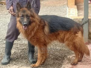 1+ Year Male Purebred German Shepherd | Dogs & Puppies for sale in Nairobi, Kawangware