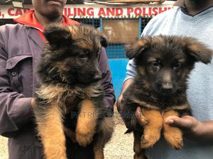 1-3 Month Female Purebred German Shepherd | Dogs & Puppies for sale in Nairobi, Kawangware