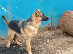 6-12 Month Female Purebred German Shepherd | Dogs & Puppies for sale in Nairobi, Kawangware