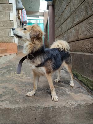 6-12 month Female Purebred Japanese Spitz   Dogs & Puppies for sale in Kiambu, Kiambu / Kiambu