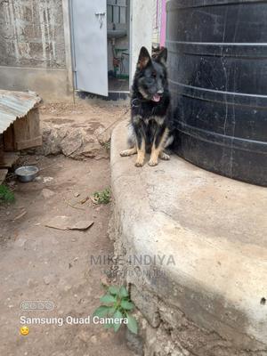 6-12 Month Female Purebred German Shepherd | Dogs & Puppies for sale in Kiambu, Thika