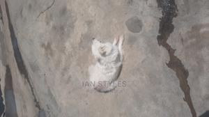1+ Year Female Purebred Japanese Spitz   Dogs & Puppies for sale in Nakuru, Nakuru Town East