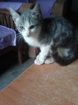 1-3 Month Female Mixed Breed Cat | Cats & Kittens for sale in Nairobi, Westlands