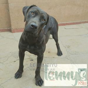 6-12 Month Female Purebred Boerboel | Dogs & Puppies for sale in Nairobi, Kahawa