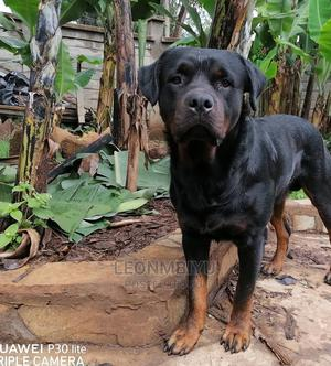 1+ Year Male Purebred Rottweiler   Dogs & Puppies for sale in Nairobi, Kahawa