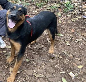 6-12 Month Male Mixed Breed Rottweiler   Dogs & Puppies for sale in Nairobi, Kitisuru