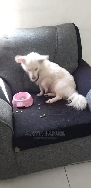 1+ Year Female Purebred Chihuahua | Dogs & Puppies for sale in Mombasa, Nyali