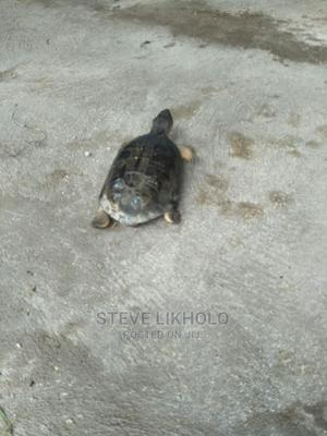 1 Year Old Male African Spurred Tortoise | Reptiles for sale in Nairobi, Nairobi Central