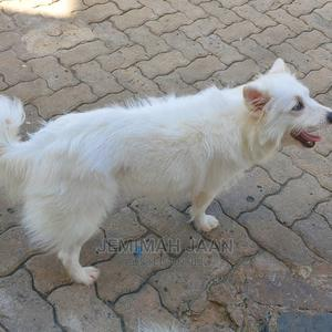 1-3 Month Female Mixed Breed Chihuahua | Dogs & Puppies for sale in Mombasa, Nyali