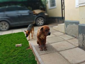 1+ Year Male Mixed Breed Boerboel | Dogs & Puppies for sale in Machakos, Athi River