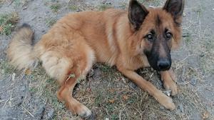 6-12 Month Male Mixed Breed German Shepherd   Dogs & Puppies for sale in Machakos, Kangundo