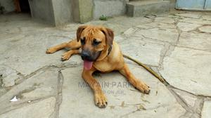 6-12 Month Male Purebred Boerboel | Dogs & Puppies for sale in Kajiado, Ongata Rongai