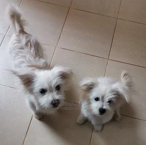 3-6 Month Female Purebred Japanese Spitz | Dogs & Puppies for sale in Nairobi, Utawala