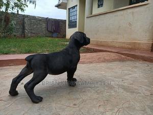 1-3 Month Male Purebred Boerboel | Dogs & Puppies for sale in Kiambu, Ruiru