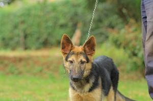 3-6 Month Female Purebred German Shepherd | Dogs & Puppies for sale in Meru, Municipality