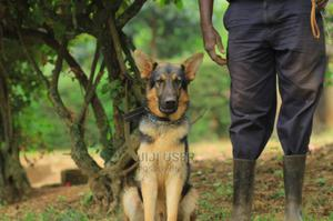 6-12 Month Male Purebred German Shepherd | Dogs & Puppies for sale in Meru, Municipality