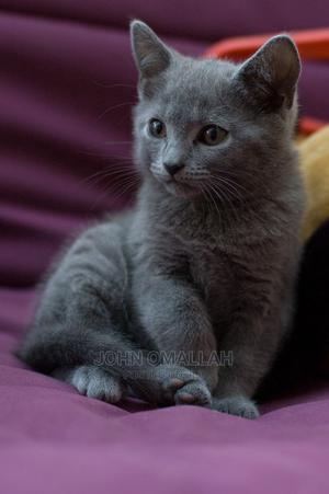 1-3 Month Female Purebred American Shorthair | Cats & Kittens for sale in Nairobi, Dagoretti