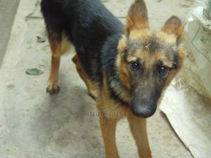 6-12 Month Female Purebred German Shepherd | Dogs & Puppies for sale in Nairobi, Nairobi Central