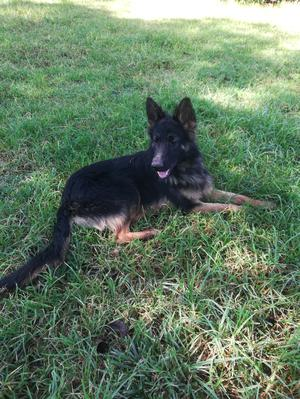 6-12 Month Male Purebred German Shepherd | Dogs & Puppies for sale in Laikipia, Nanyuki