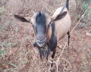 Male Goat That Can Breed Your Flock | Other Animals for sale in Embu, Makima
