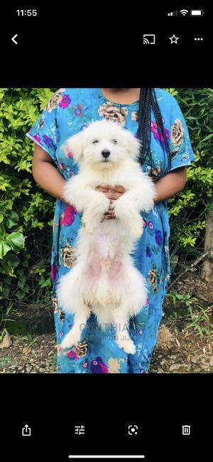 6-12 Month Male Purebred Maltese | Dogs & Puppies for sale in Kiambu, Kiambu / Kiambu