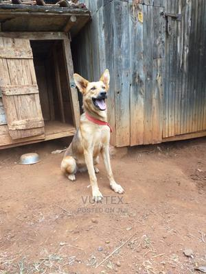 6-12 Month Female Purebred German Shepherd | Dogs & Puppies for sale in Nairobi, Kahawa