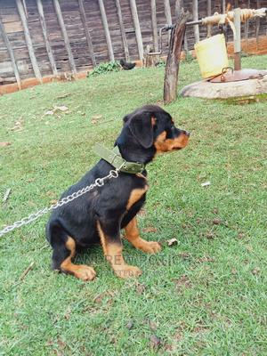 3-6 Month Female Purebred Rottweiler   Dogs & Puppies for sale in Trans-Nzoia, Kitale