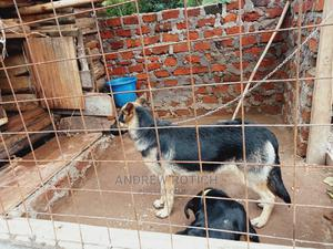 6-12 Month Male Purebred German Shepherd | Dogs & Puppies for sale in Trans-Nzoia, Kitale
