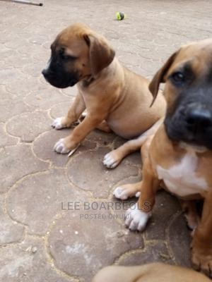 3-6 Month Female Purebred Boerboel | Dogs & Puppies for sale in Nairobi, Nairobi Central