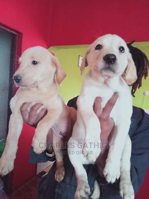 0-1 Month Female Purebred Labrador Retriever | Dogs & Puppies for sale in Nairobi, Nairobi Central