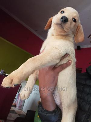 3-6 Month Male Purebred Labrador Retriever | Dogs & Puppies for sale in Nairobi, Nairobi Central