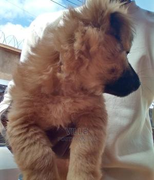 1-3 Month Female Purebred Japanese Spitz | Dogs & Puppies for sale in Kiambu, Thika