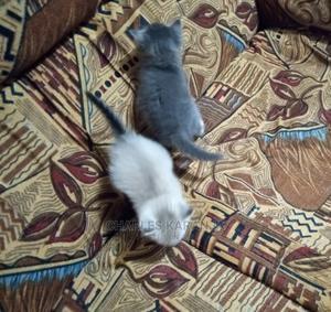 1-3 Month Female Mixed Breed Cat   Cats & Kittens for sale in Kiambu, Kiambu / Kiambu