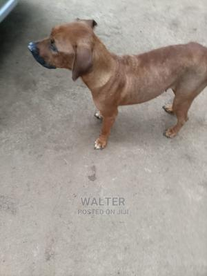 1-3 Month Female Purebred Boerboel | Dogs & Puppies for sale in Kajiado, Ngong