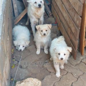 1-3 Month Female Mixed Breed Japanese Spitz   Dogs & Puppies for sale in Mombasa, Bamburi
