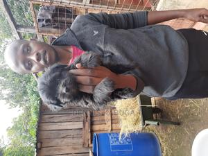 1-3 Month Male Purebred Havanese | Dogs & Puppies for sale in Kirinyaga, Njukiini