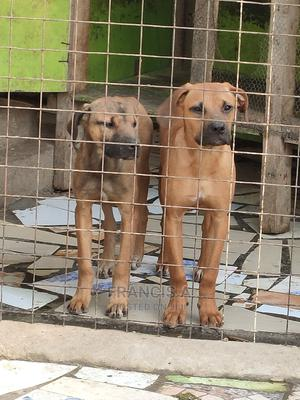 6-12 Month Male Purebred Boerboel | Dogs & Puppies for sale in Nairobi, Nairobi Central
