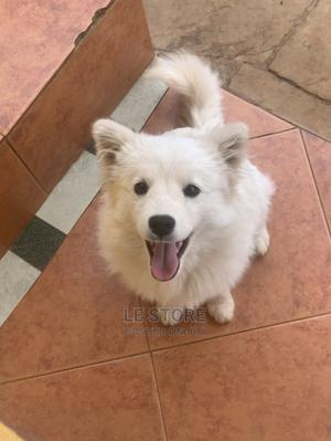 3-6 Month Male Purebred Japanese Spitz | Dogs & Puppies for sale in Nairobi, South C