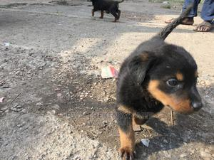 1-3 Month Female Purebred Rottweiler   Dogs & Puppies for sale in Nairobi, Embakasi