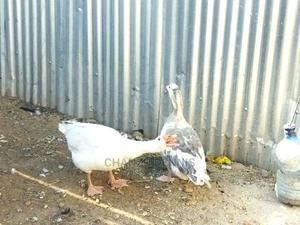 Goose Pair | Birds for sale in Narok, Narok Town